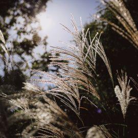 Daugiametės gėlės, dekoratyvinės žolės